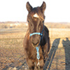 Silk - 8 month old quarter horse filly